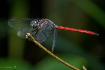 Asiatic Blood Tail - Lathrecista asiatica