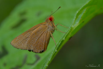 Common Red Eye - Matapa aria