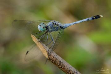 Ground Skimmer - Male -Diplacodes trivialis