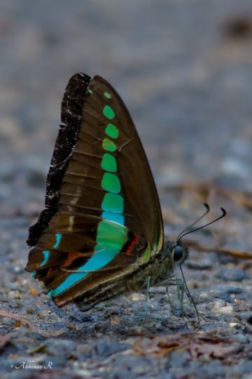 Common Bluebottle - Graphium sarpedon