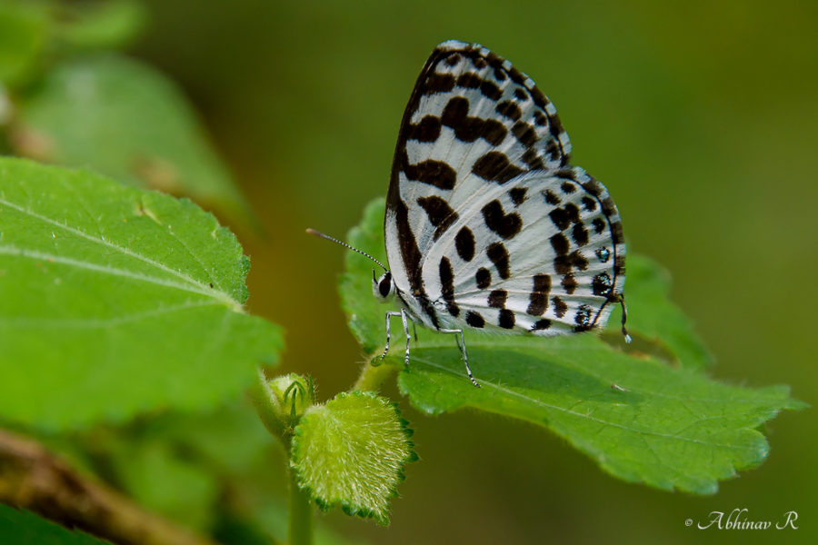 Common Pierrot Butterfly - Castalius rosimon