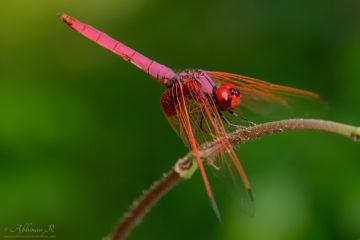 Crimson Marsh Glider - Trithemis aurora - Male