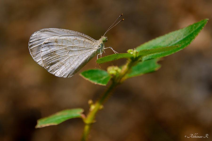 Psyche Butterfly - Leptosia nina