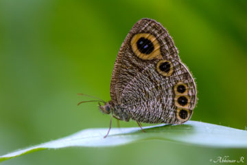 Common Four Ring Butterfly - Ypthima huebneri