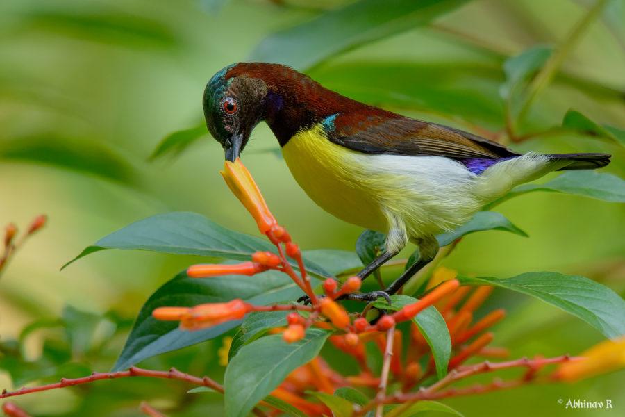 Purple-rumped Sunbird - Birds of South India