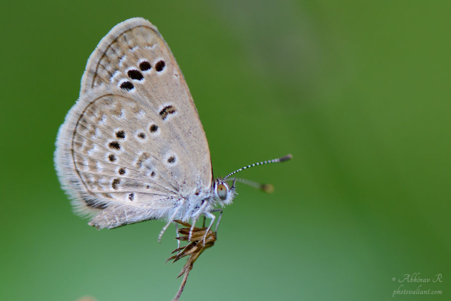 Lesser Grass Blue - Zizina otis - Photo by Abhinav R