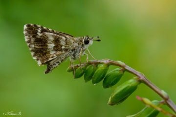 Indian Grizzled Skipper - Spialia galba