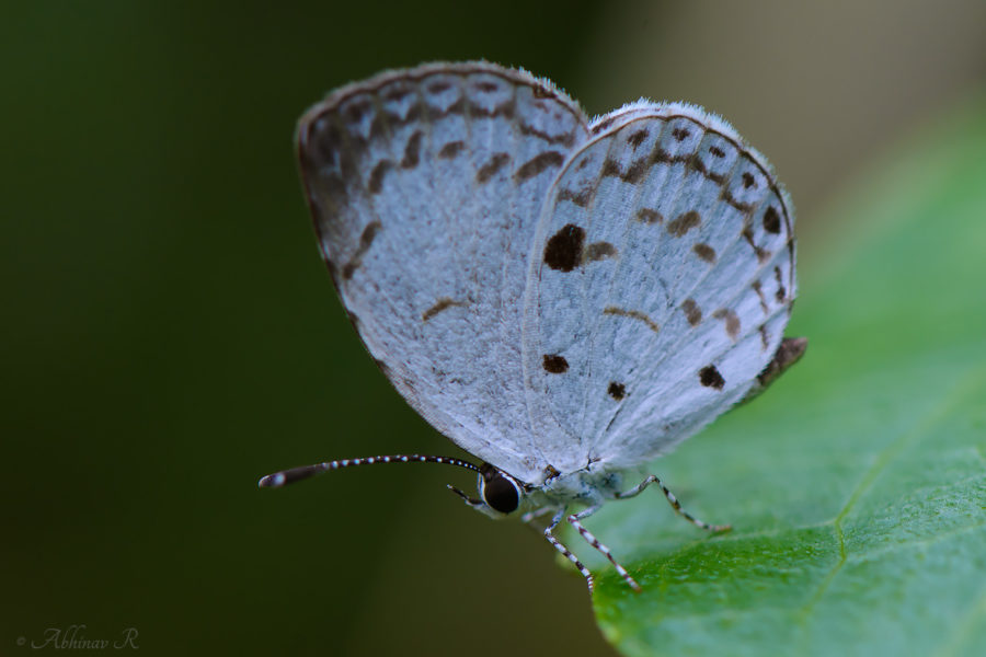Common Quaker Butterfly - Neopithecops zalmora