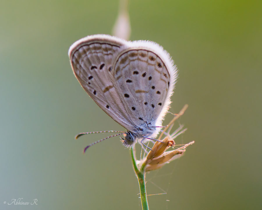 Tiny Grass Blue (Zizula hylax) photo from Cheruvally in Kerala