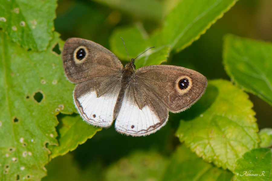 White Four Ring Butterfly from Chinnar Wildlife Sanctuary