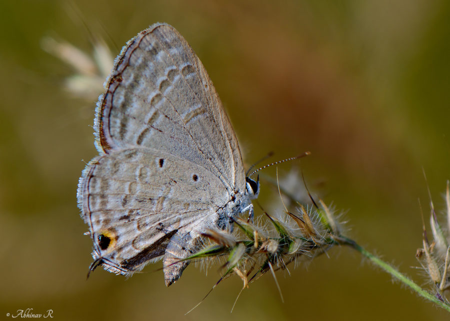 Forget-me-not butterfly (Catochrysops strabo)
