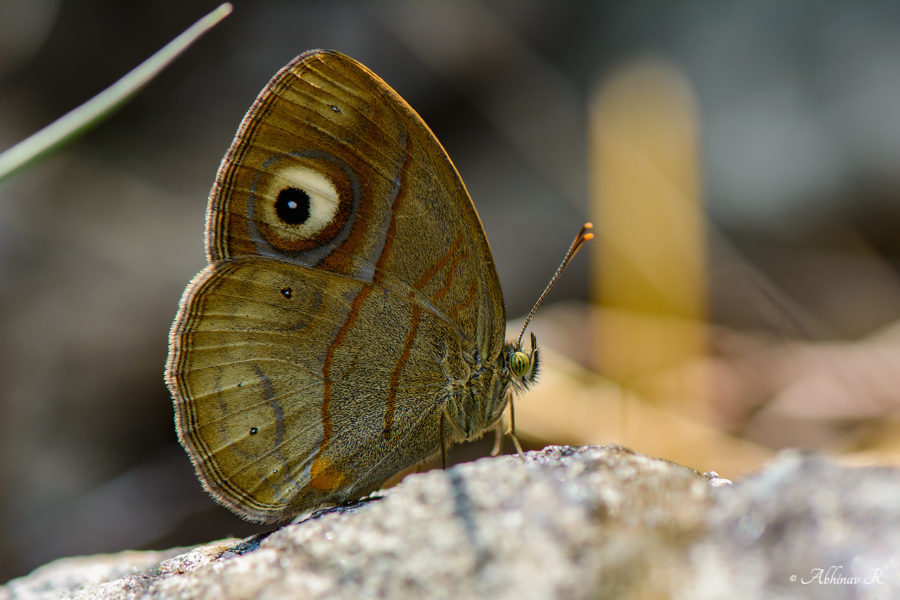 Malabar Gladeye Bushbrown - butterflies of Chinnar
