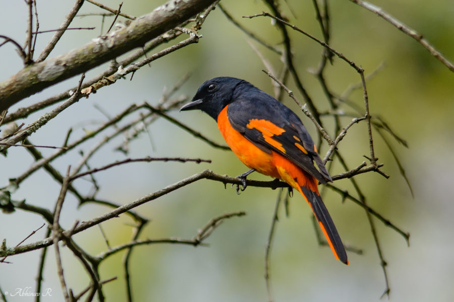 Minivet from Chinnar