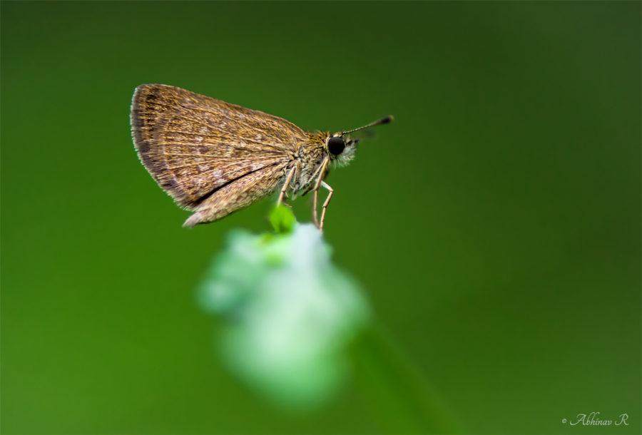 Pygmy Scrub Hopper Butterfly - Aeromachus pygmaeus from Cheruvally, Kerala