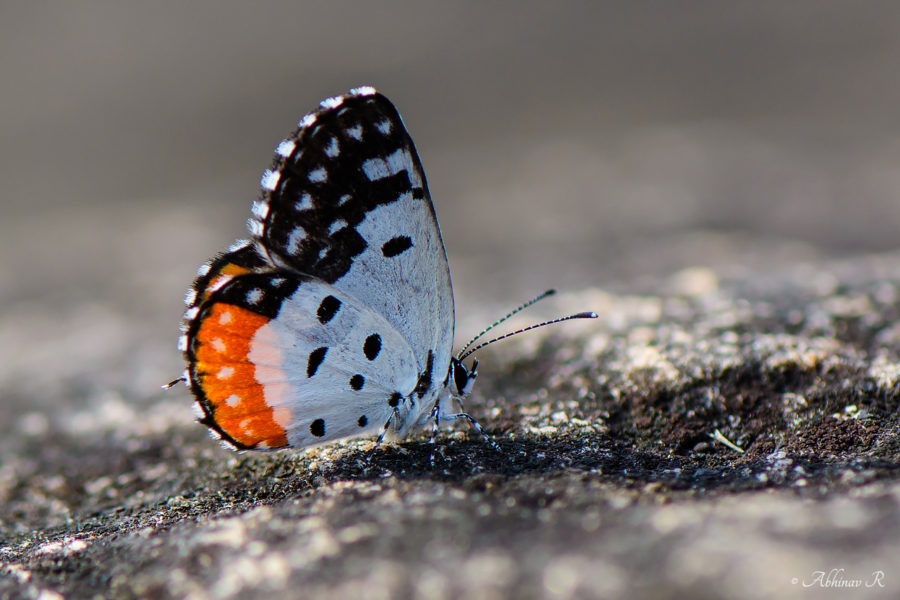 Red Pierrot - Butterflies of Chinnar Wildlife Sanctuary