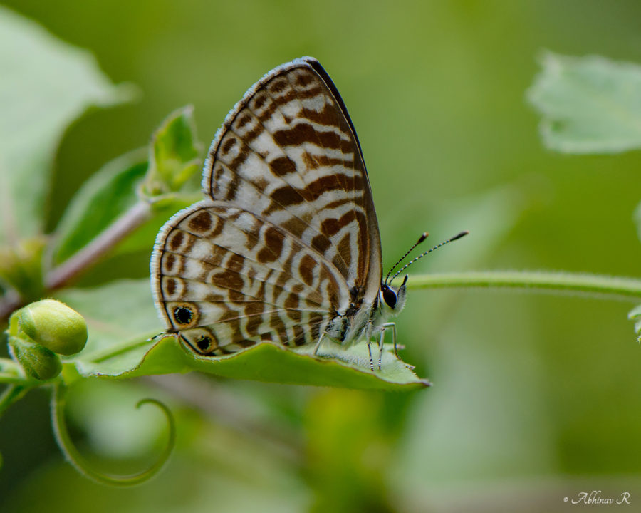 Zebra Blue Butterfly - Butterflies of Chinnar