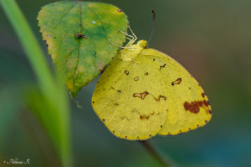 Common Grass Yellow - Eurema hecabe