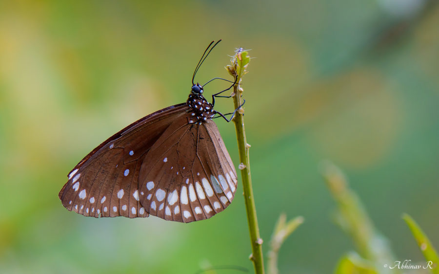 Common Indian Crow - Euploae core