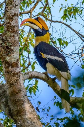 Great Indian Hornbill - Buceros bicornis