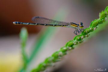 Splendid Dartlet - Female - Agriocnemis splendidissima