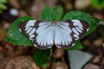 Marbled White Moth - Nyctemera coleta
