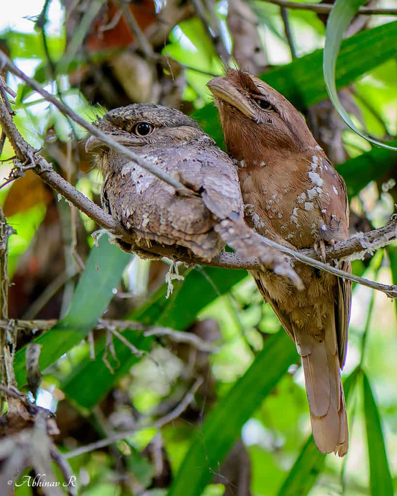 Sri Lanka Frogmouth or Ceylon Frogmouth - Batrachostomus moniliger