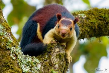 Malabar Giant Squirrel - Ratufa indica