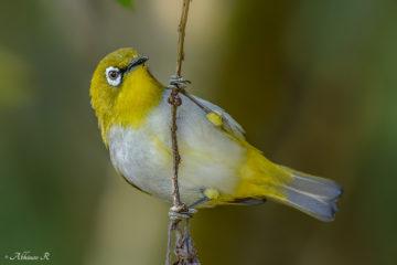 Oriental White-eye - Zosterops palpebrosus