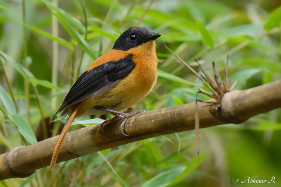 Black and Orange Flycatcher - Ficedula nigrorufa