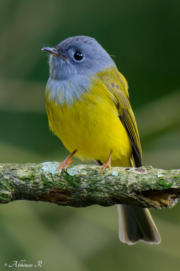 Grey-headed Canary Flycatcher - Culicicapa ceylonensis