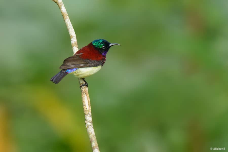 Crimson-backed Sunbird (Male) from Thattekad