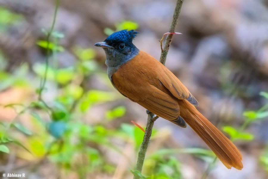 Indian Paradise Flycatcher from Chinnar Wildlife Sanctuary