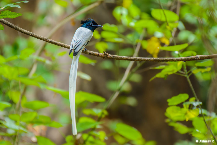 Indian Paradise Flycatcher (Terpsiphone paradisi) from Chinnar Wildlife Sanctuary