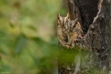 Indian Scops Owl (Ottus bakkamoena) from Chinnar Wildlife Sanctuary
