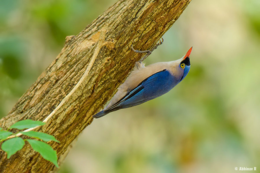 Velvet-fronted Nuthatch (Sitta frontalis) from Chinnar Wildlife Sanctuary