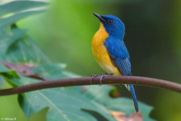 Tickell's Blue Flycatcher (male) from Cheruvally, Kottayam
