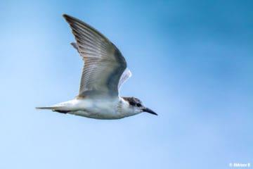 Whiskered Tern (Chlidonias hybrida) from Periyar River, Thattekad