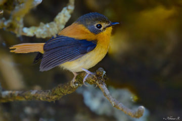 Black-and-Orange Flycatcher (Female) - Ficedula nigrorufa - from Ooty, Nilgiris
