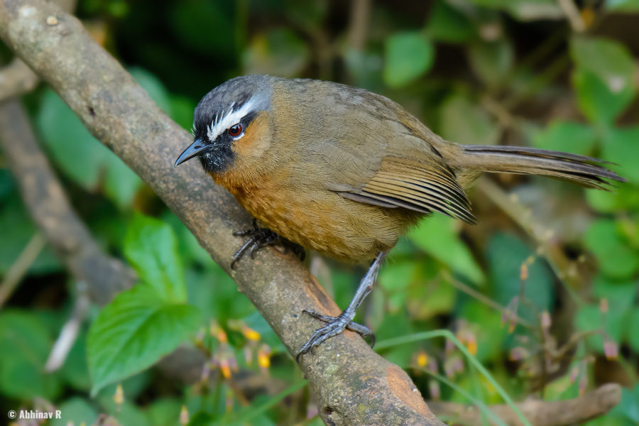 Black-chinned Laughingthrush (Trochalopteron cachinnans) from Doddabetta Peak, Ooty