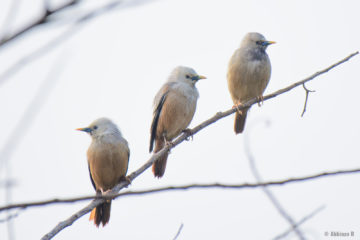 Chestnut-tailed Starlings