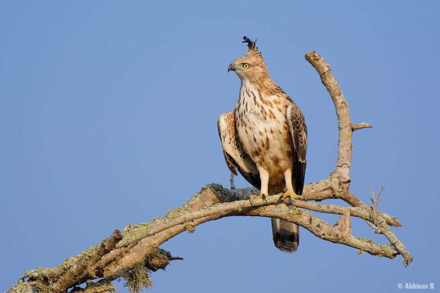 Crested Hawk Eagle (Nisaetus cirrhatus) from Masinagudi