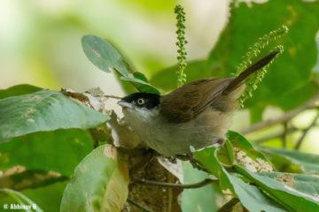 Dark-fronted Babbler (Rhopocichla atriceps) from Masinagudi