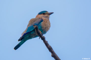 Indian Roller (Coracias benghalensis) from Masinagudi