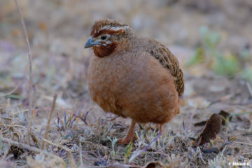 Jungle Bush Quail (Female) - Perdicula asiatica - from Masinagudi