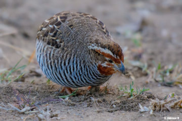 Jungle Bush Quail - Perdicula asiatica - from Masinagudi