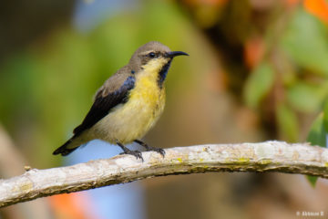 Purple Sunbird - (Cinnyris asiaticus) from Masinagudi