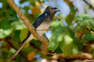 White-bellied Drongo (Dicrurus caerulescens) from Mudumalai near Masinagudi
