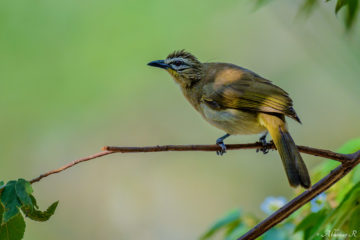 White-browed Bulbul (Pycnonotus luteolus) from Masinagudi