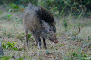 Wild Boar from Masinagudi, Mudumalai National Park