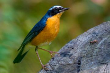 Indian Blue Robin photo from Munnar - birds of kerala